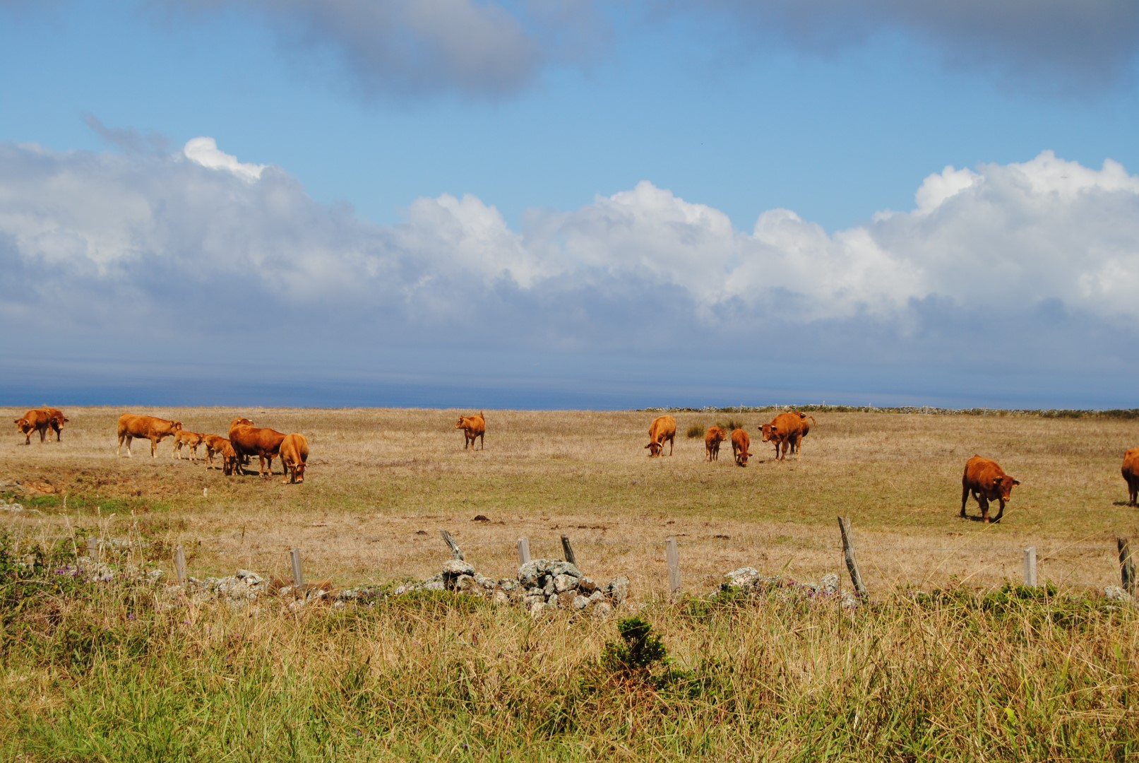 Pasture & Cows on the South side of Santa Maria island