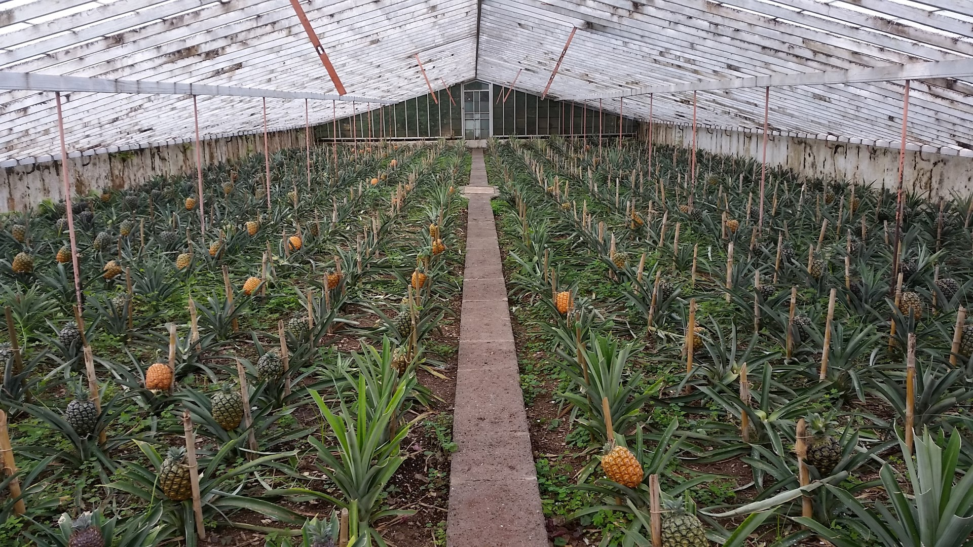Pineapple Plantation