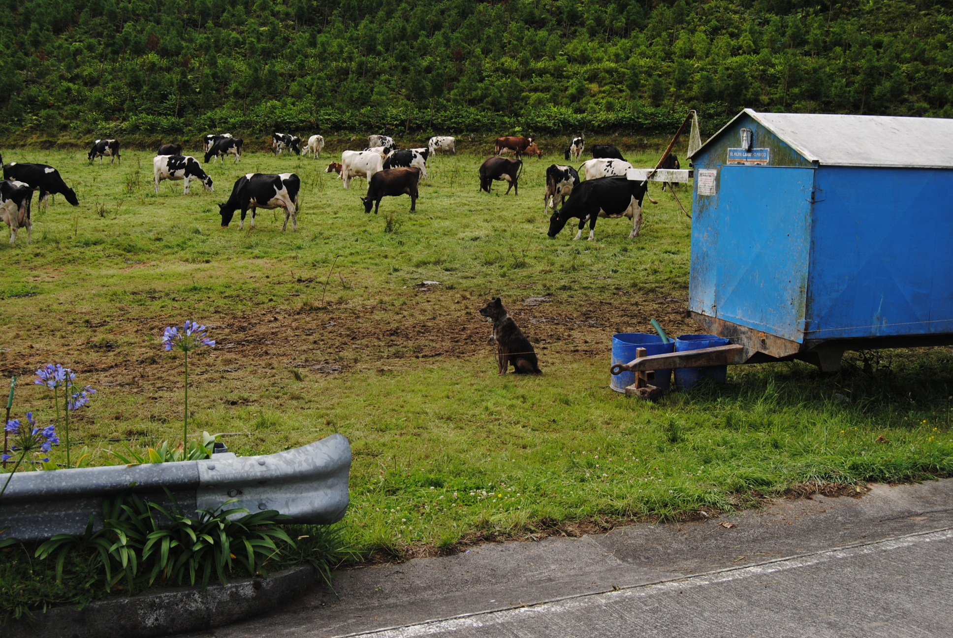 Dairy cow farm